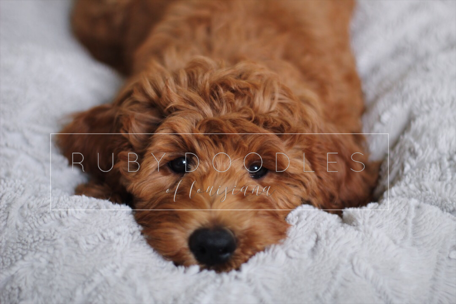 Goldendoodles - About Us | South Louisiana | Ruby Doodles of Louisiana
