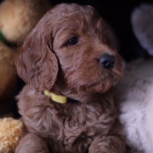 Goldendoodles - About Us | South Louisiana | Ruby Doodles of