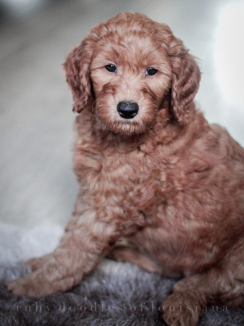 Gussie