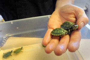 WARNING!! Mini Turtles are found to carry salmonella, do not buy them.