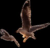 ציפורים.png