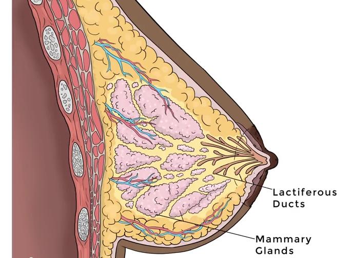 How doeas breastfeeding actually work?