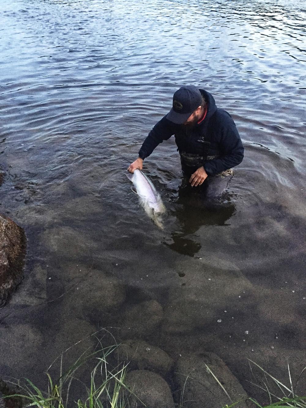 A Hatchery Fish on the Bayelva