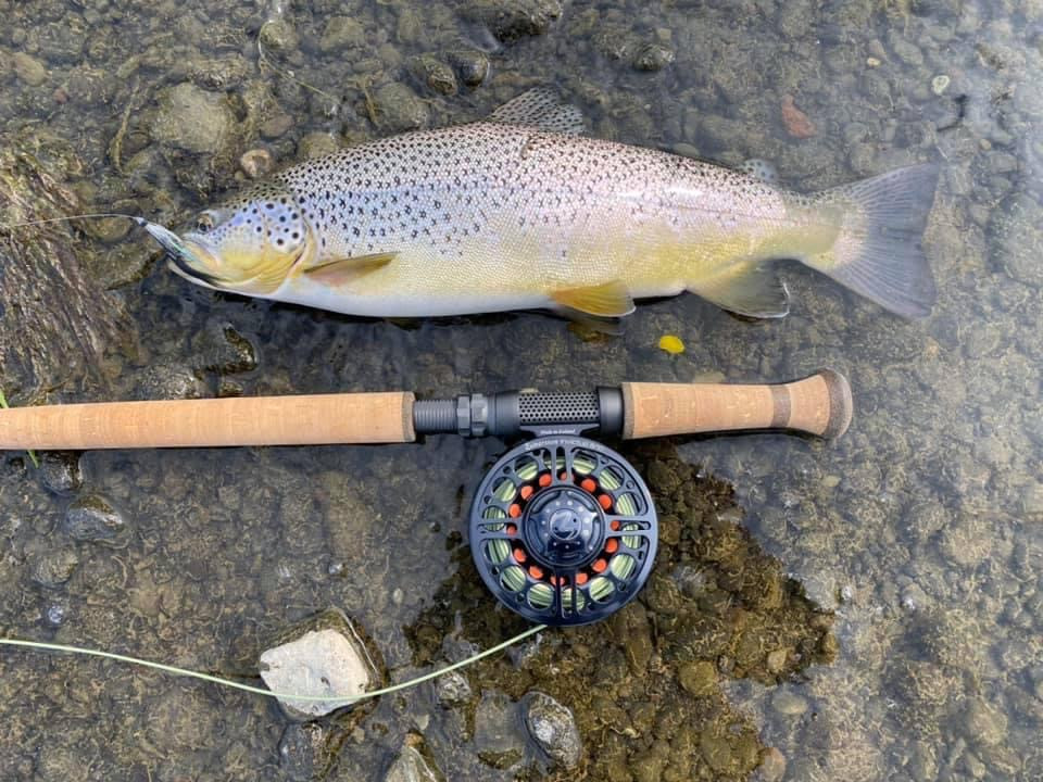 Amazing Fat Brown Trout