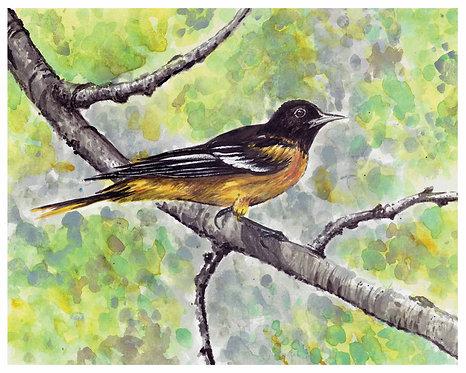 Oriole Watercolor Art Print       Animals