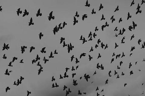 ravenflock_edited_edited.jpg