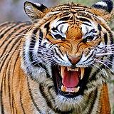 tiger-roar.jpg
