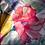 Thumbnail: Drap KENTIA - Coton - Gr. Fleurs - La Girafe Bleue et Tessitura Toscana Telerie
