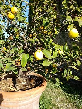 Lemon Trees | Villa Buonisnegna