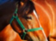 chestnut-horse-KVUNG6S.jpg