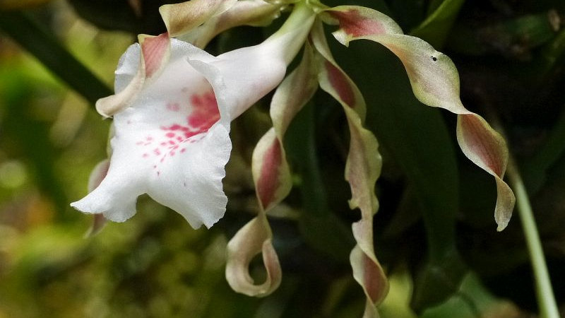 Trichopilia tortilis 4N