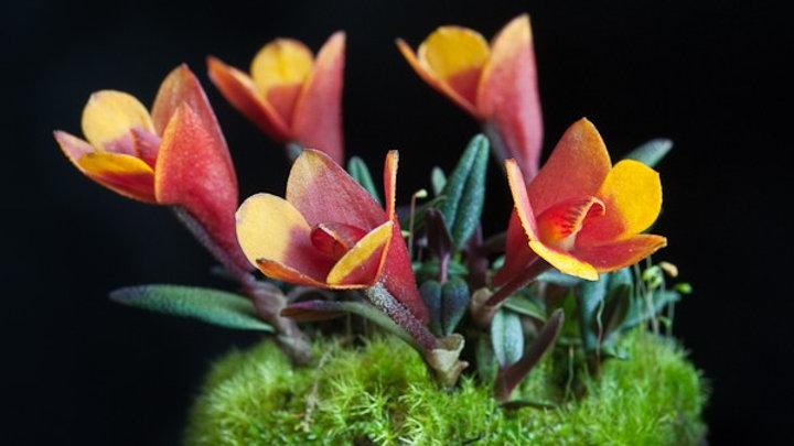 Dendrobium Aussie's Hi-Lo yellow red