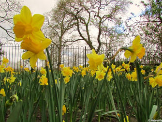 Daffodils In Bloom For Spring At The Freemen's Copse Memorial