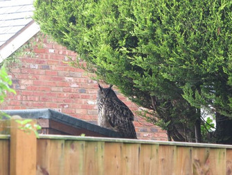 Giant Eagle Owl Makes Home In Hale Village