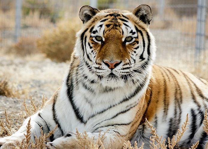 siberian-tiger-choi-hu-kk-1-ngcav7wssqcy