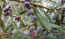 Algerian Olives