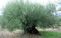 Algerian Olive Tree