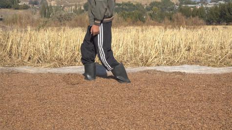 Rice Walker Boy