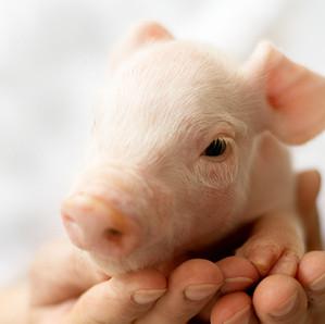 Santé porcine