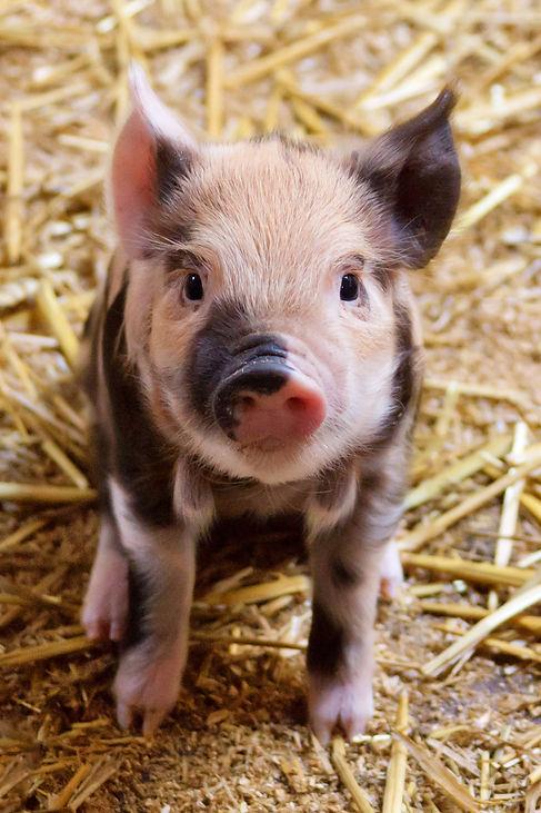 cute-piglet.jpg