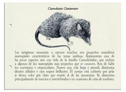 Caenolestes Caniventer