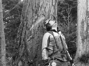 Meierholztechnik fällt im Jolimont für Timbers schöne Lärchen und Föhren