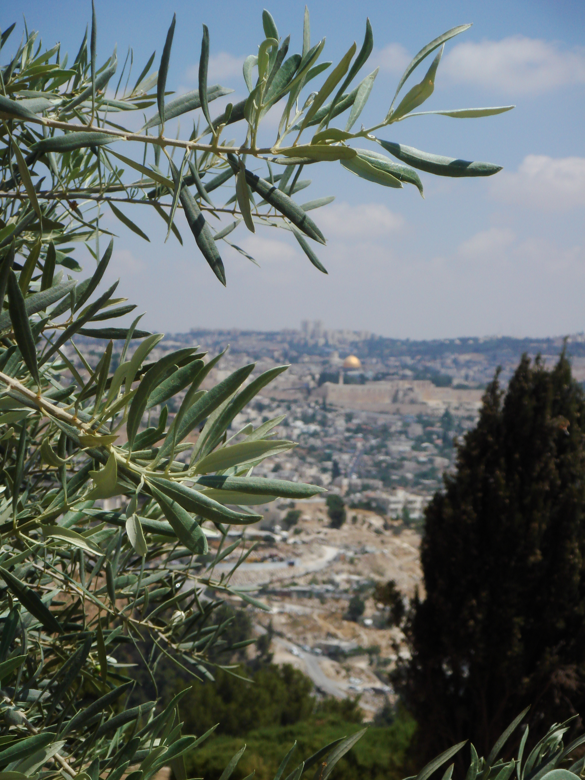 Olive tree and Old City view