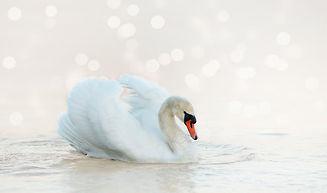 swan-4060696_1920.jpg