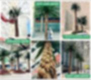 dactylifera palm.jpg