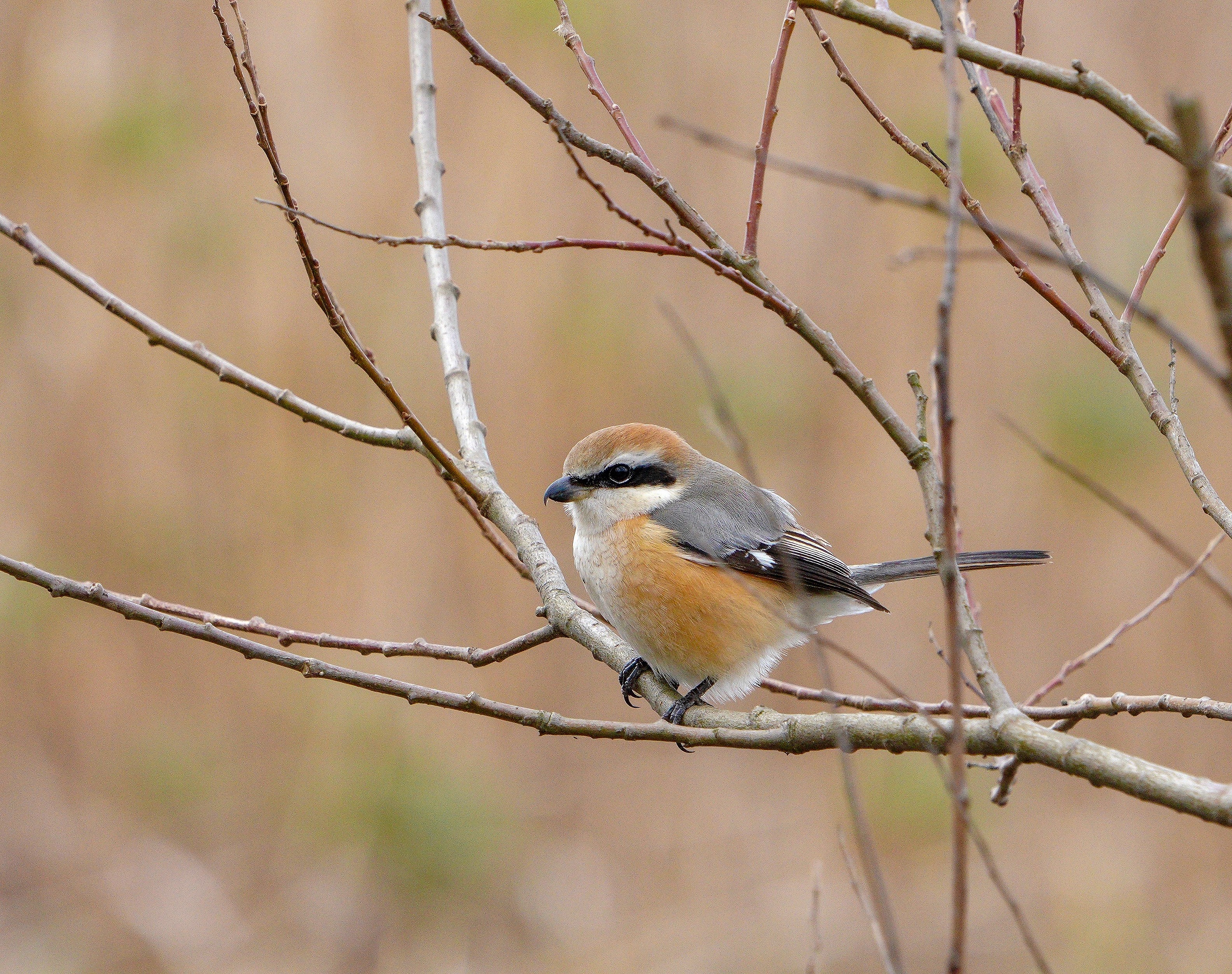 モズ♂ Bull-headed Shrike