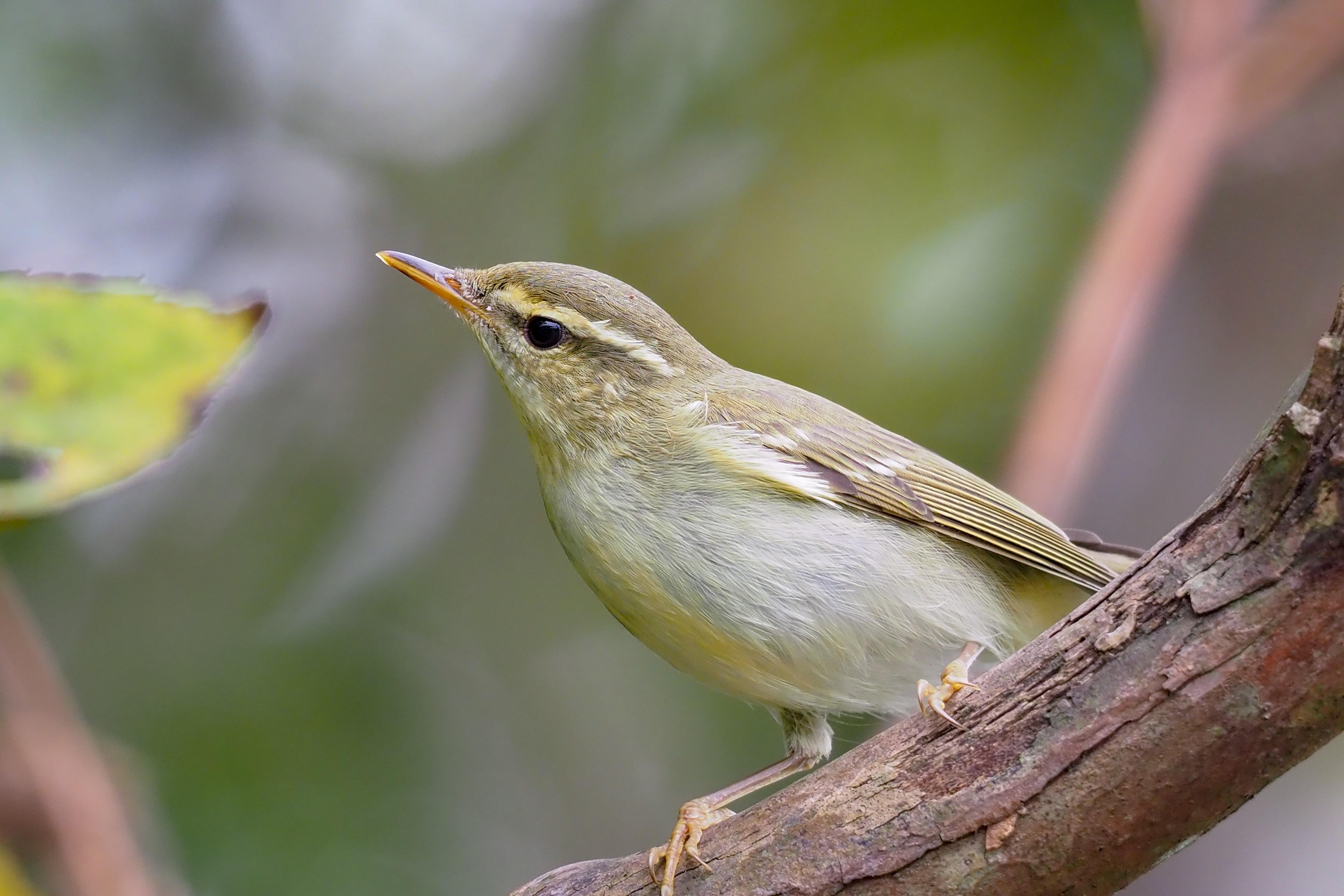 メボソムシクイ Japanese Leaf Warbler