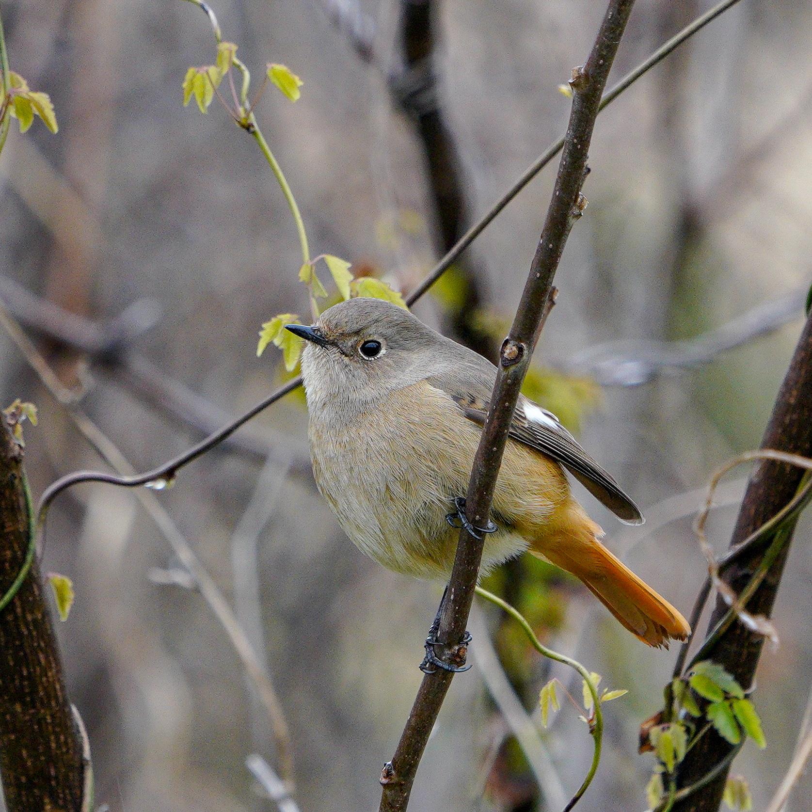 ジョウビタキ♀Darien Redstart