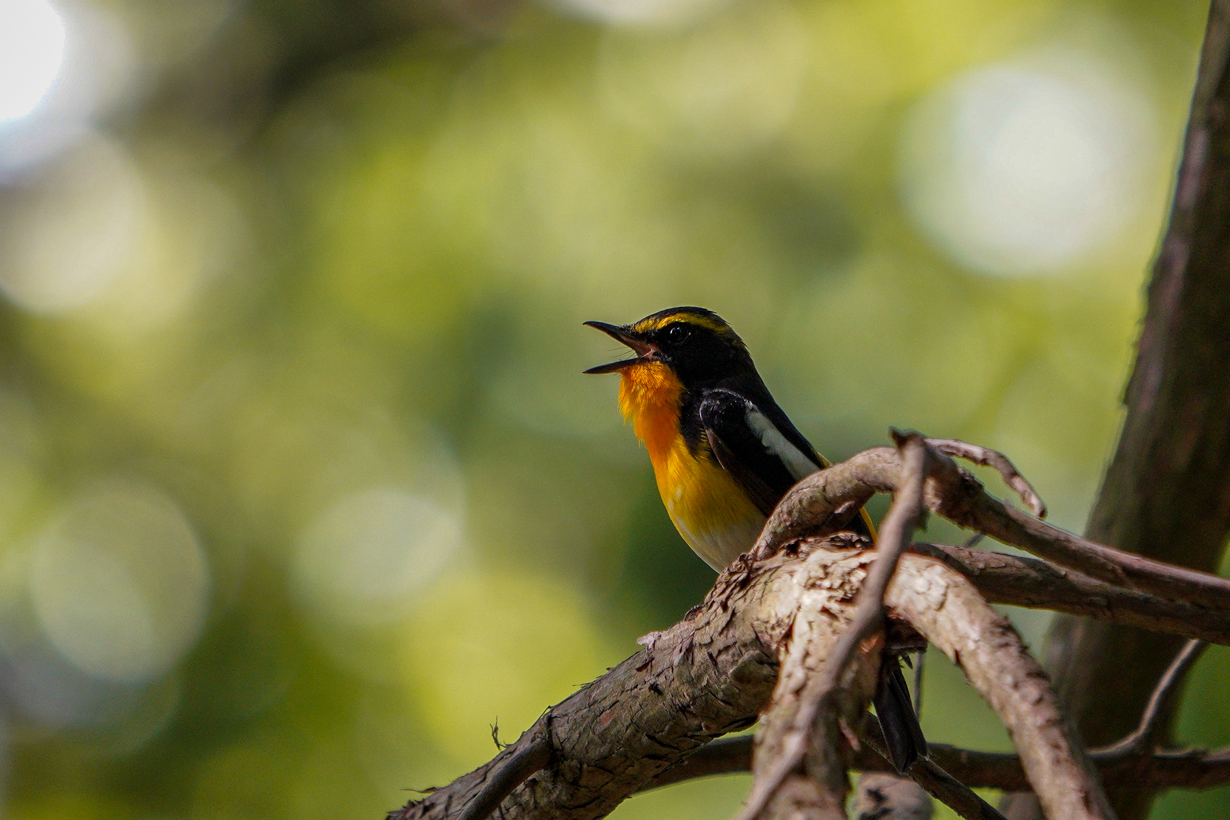 キビタキ Narcissus flycatcher