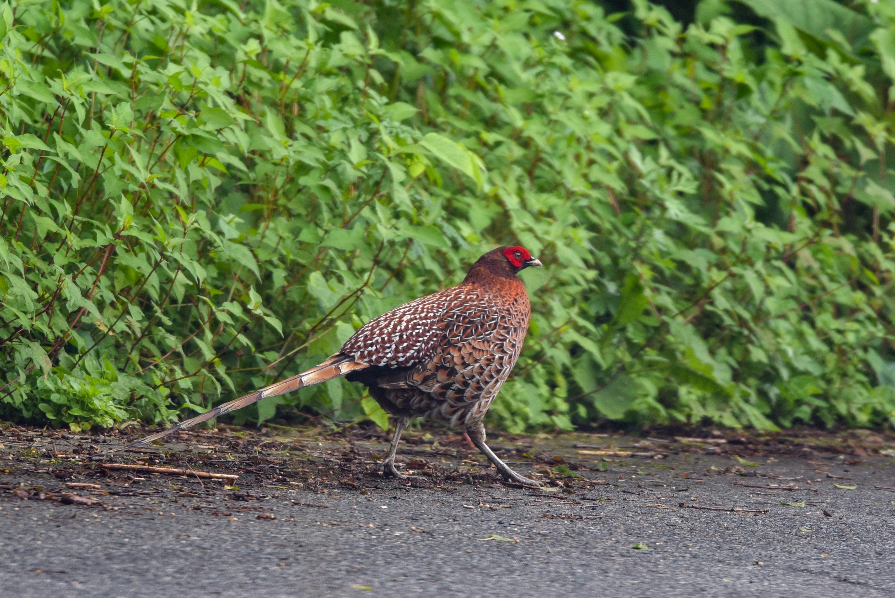 ヤマドリ♂Copper Pheasant