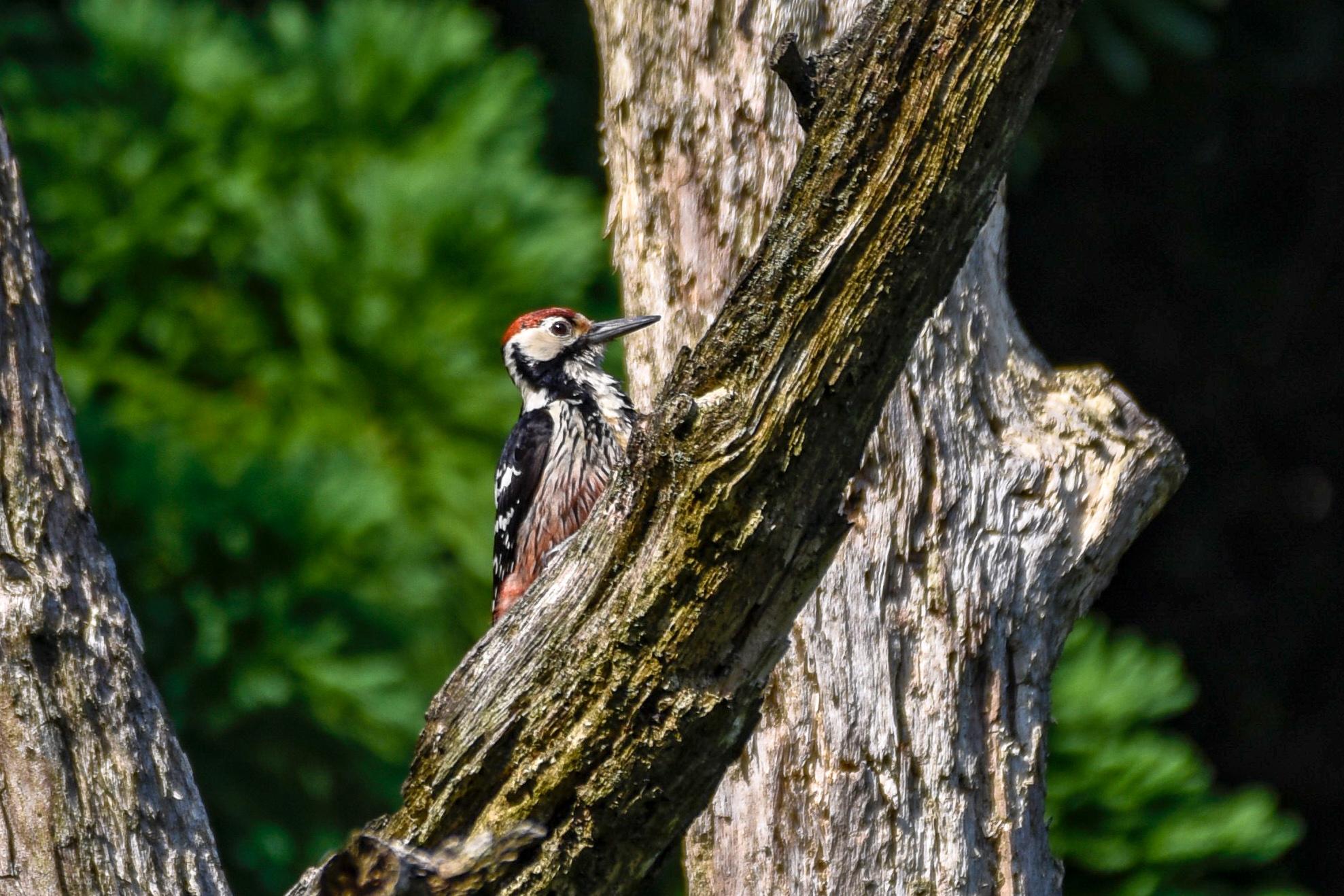 オオアカゲラ White-backed Woodpecker