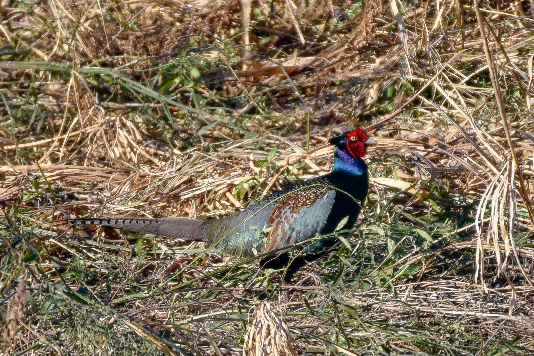キジ 日本の国鳥Common Pheasant