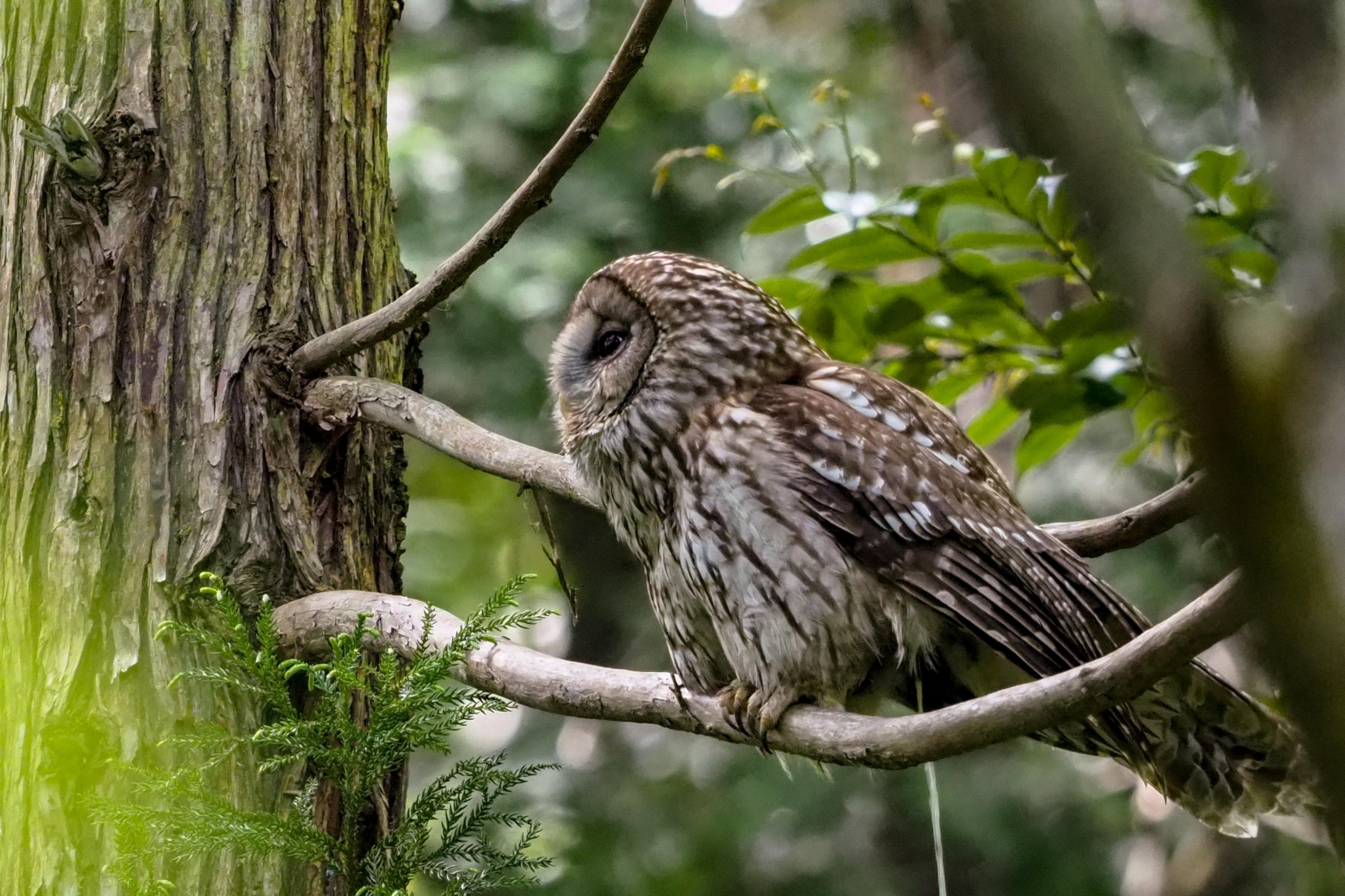 フクロウ Ural Owl 50cm