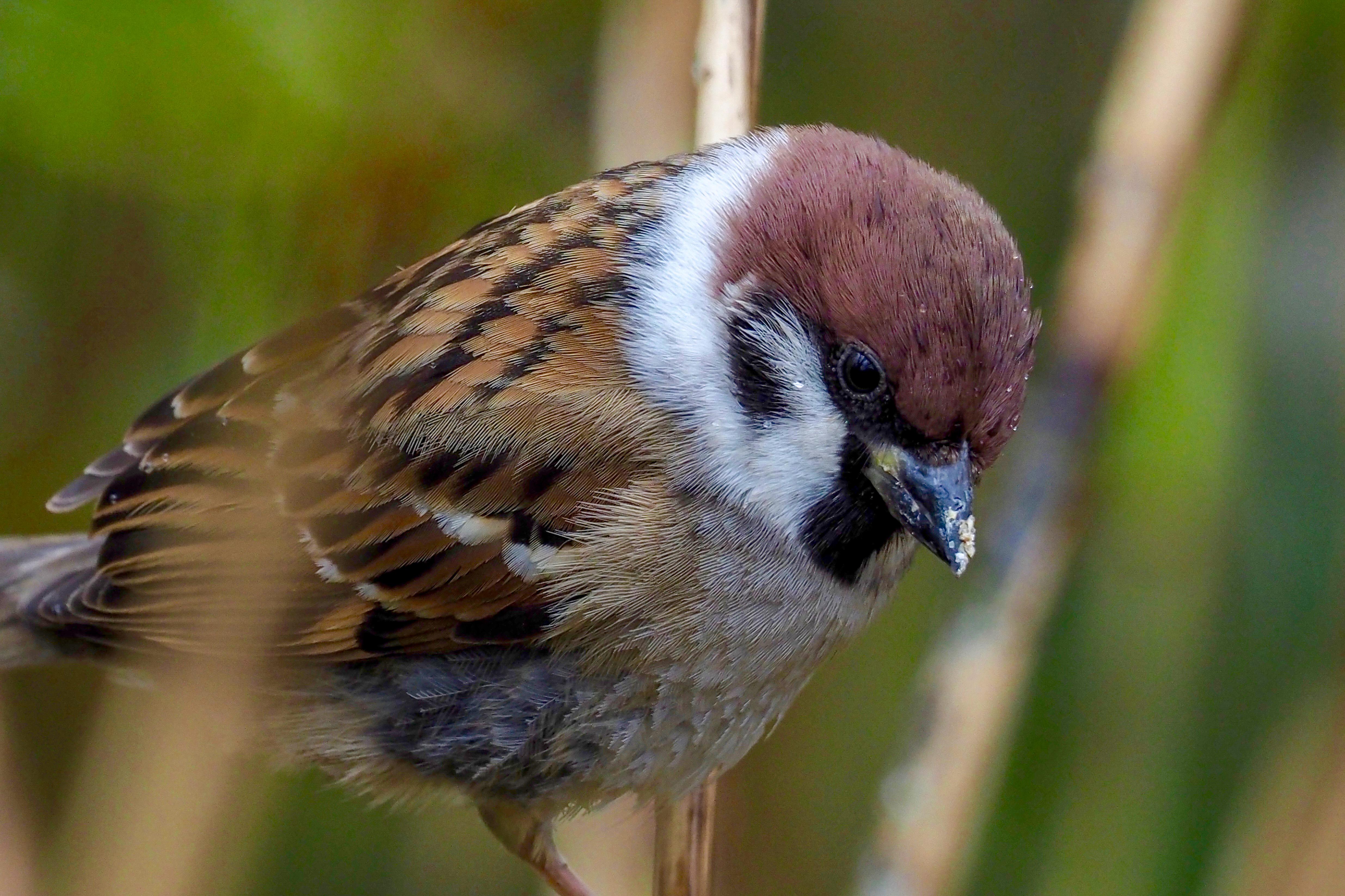 Eurasian Tree Sparrow 15cm