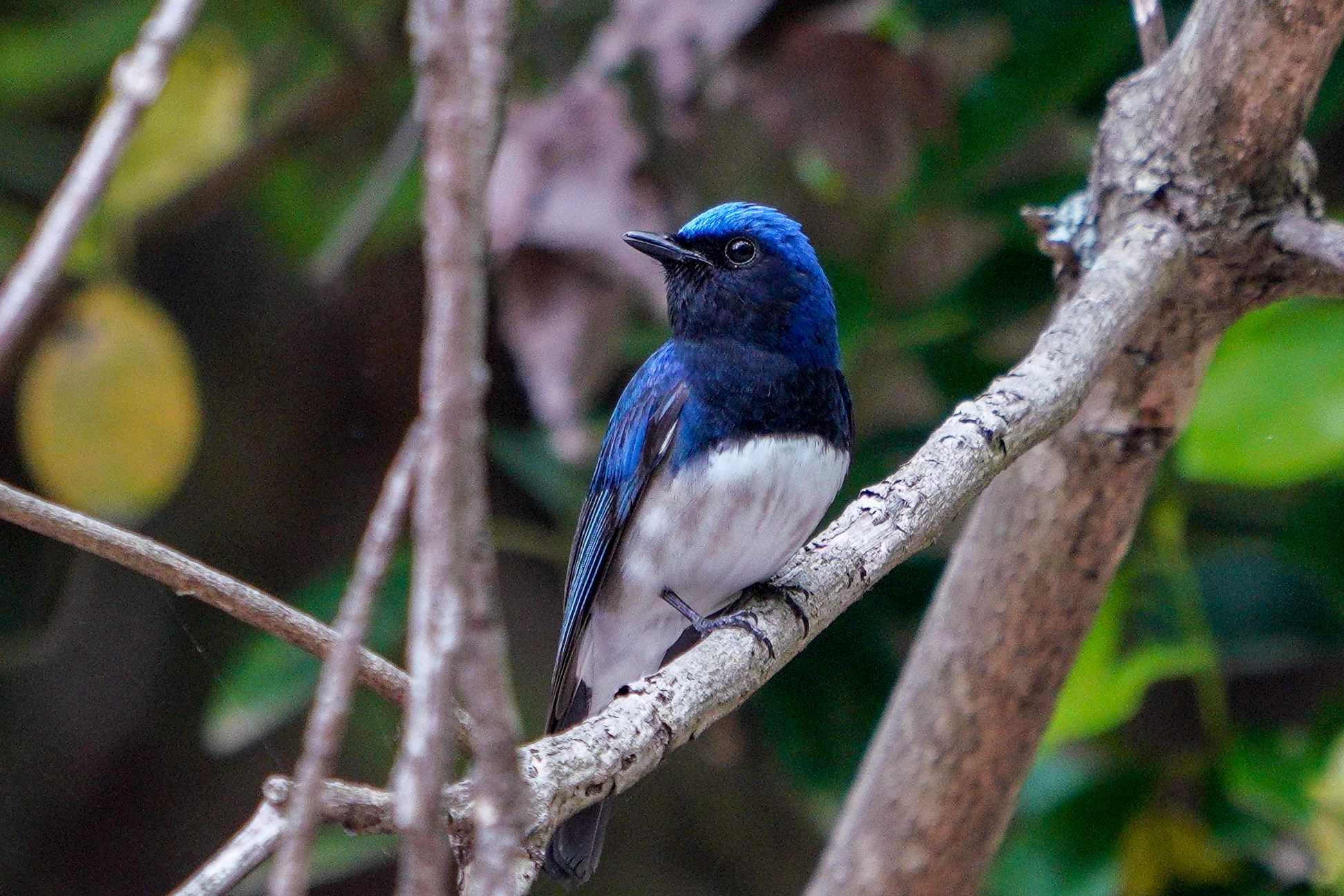 オオルリ Blue-and-white flycatcher