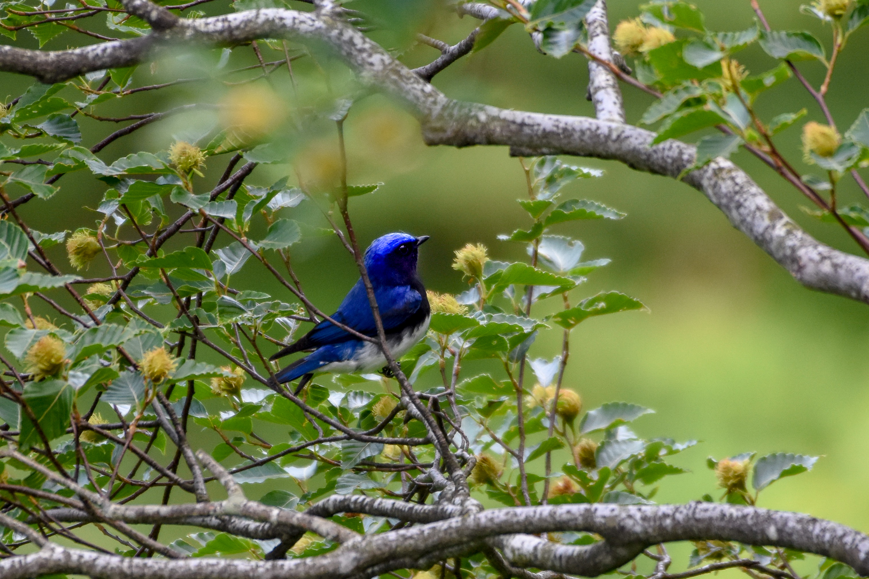 オオルリBlue-and-white Flycatcher