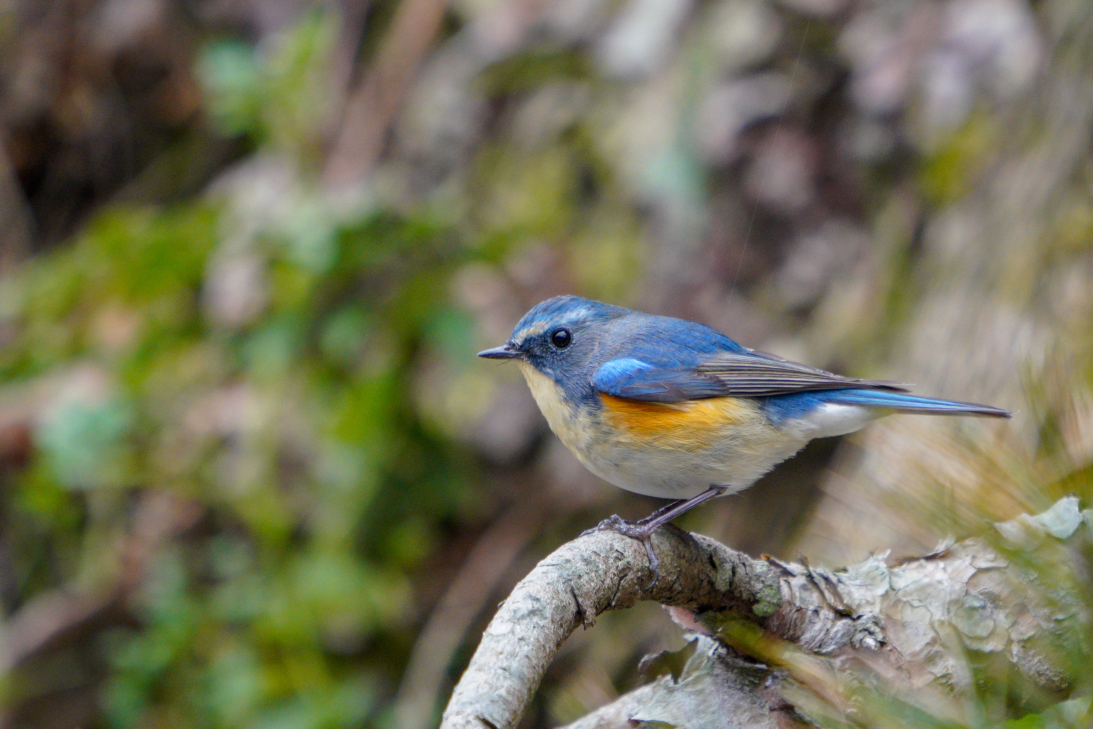 Red-flanked Bluetail ルリビタキ 14cm ヒタキ科