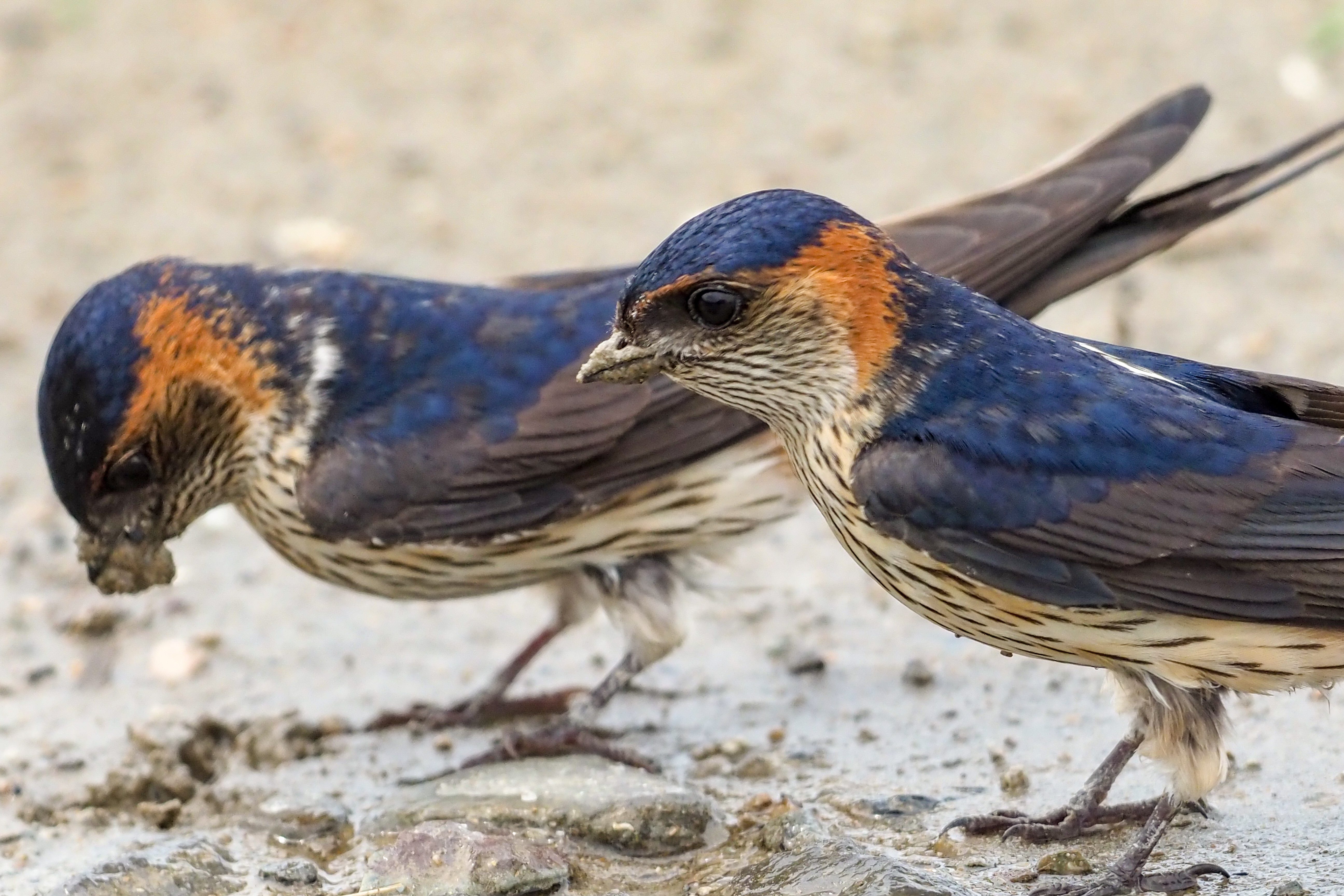 Red-Romped Swallow コシアカツバメ 19cm ツバメ科