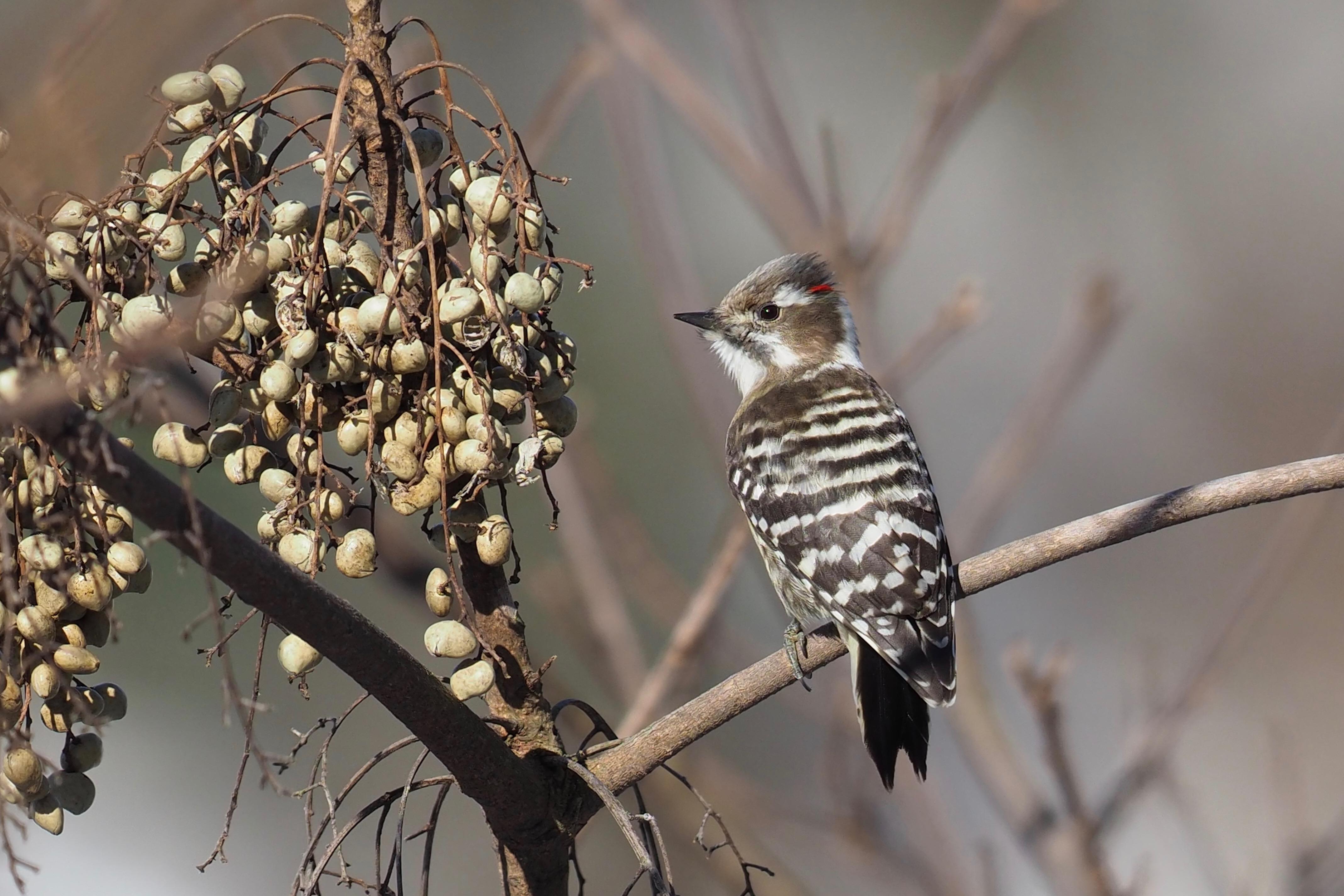 Japanese Pygmy Woodpecker コゲラ 15cm