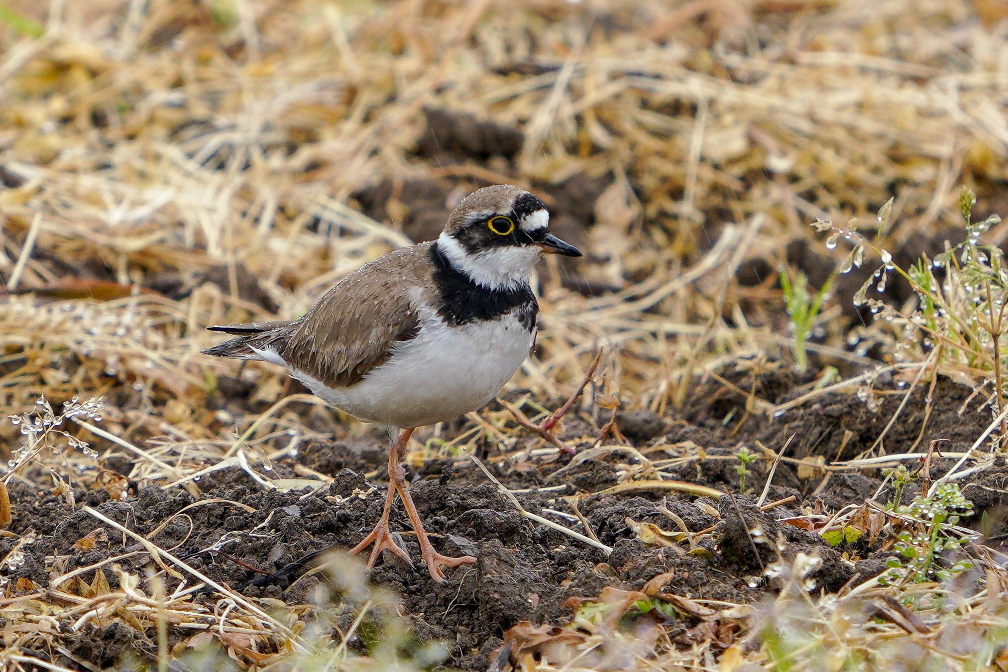 コチドリ Little Ringed Plover 14-17cm