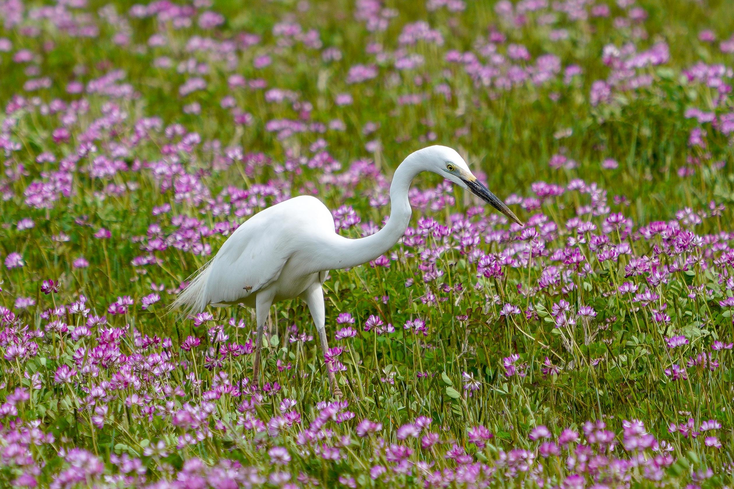 ダイサギ Great Egret 80-104cm