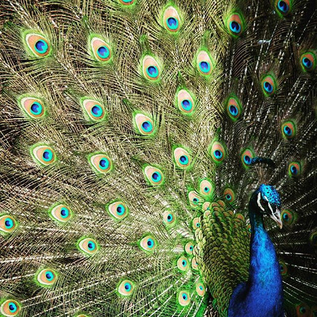 #MySundayPhoto - Peacock
