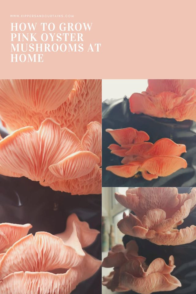 how to grow pink oyster mushrooms at home