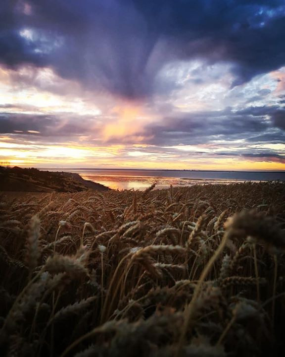 sunset wheat field Minster Isle of Sheppey