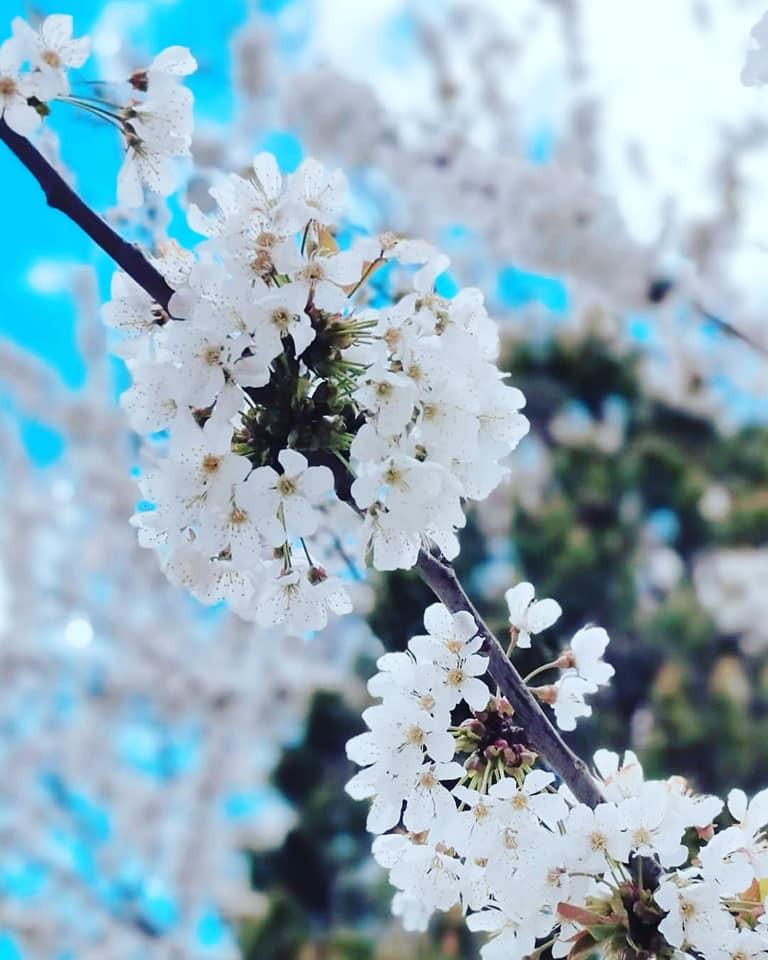 Cherry blossom Battersea Park