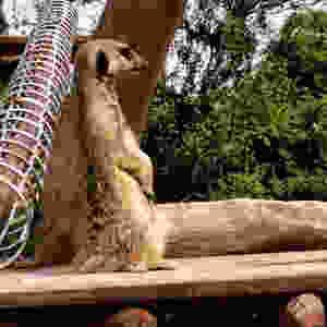 Hobbledown meerkat